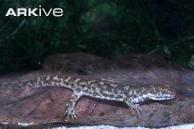 Sardinian brook newt