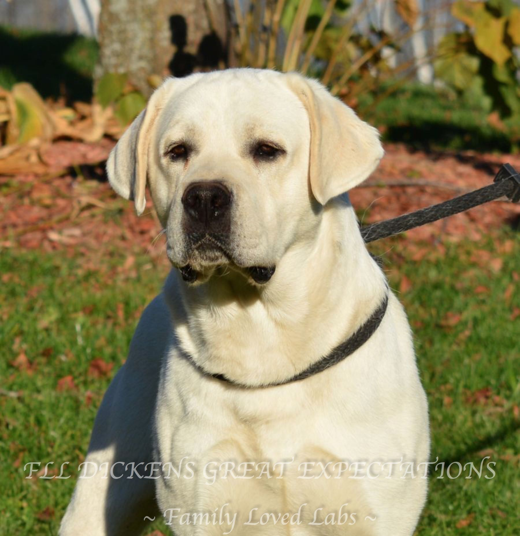 Fll Dickens Great Expectations Family Loved Labs White Akc Registered English Lab Beautiful English Lab Blo English Lab Puppies Lab Puppies English Lab