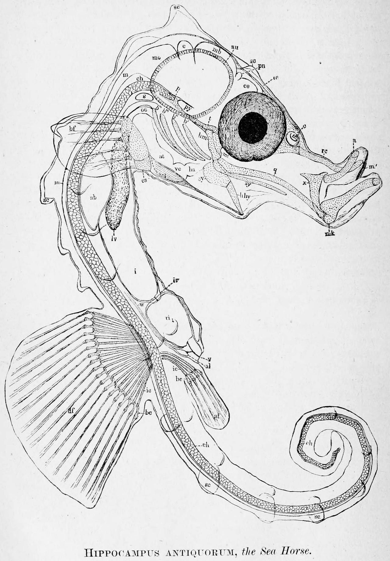 Hippocampus sp. internal structure - Despite their remarkable ...