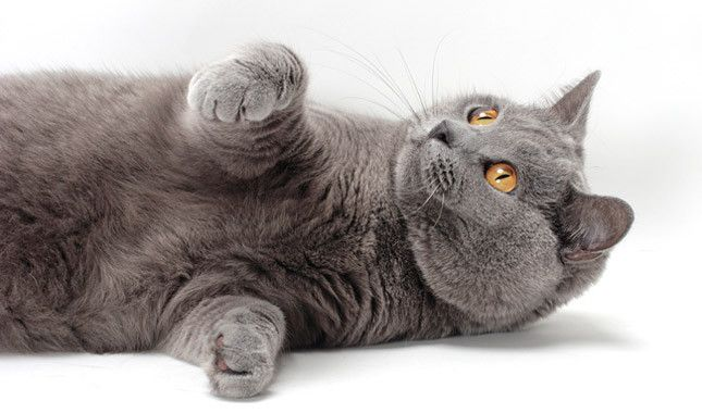 My smiling love... Chartreux cat.