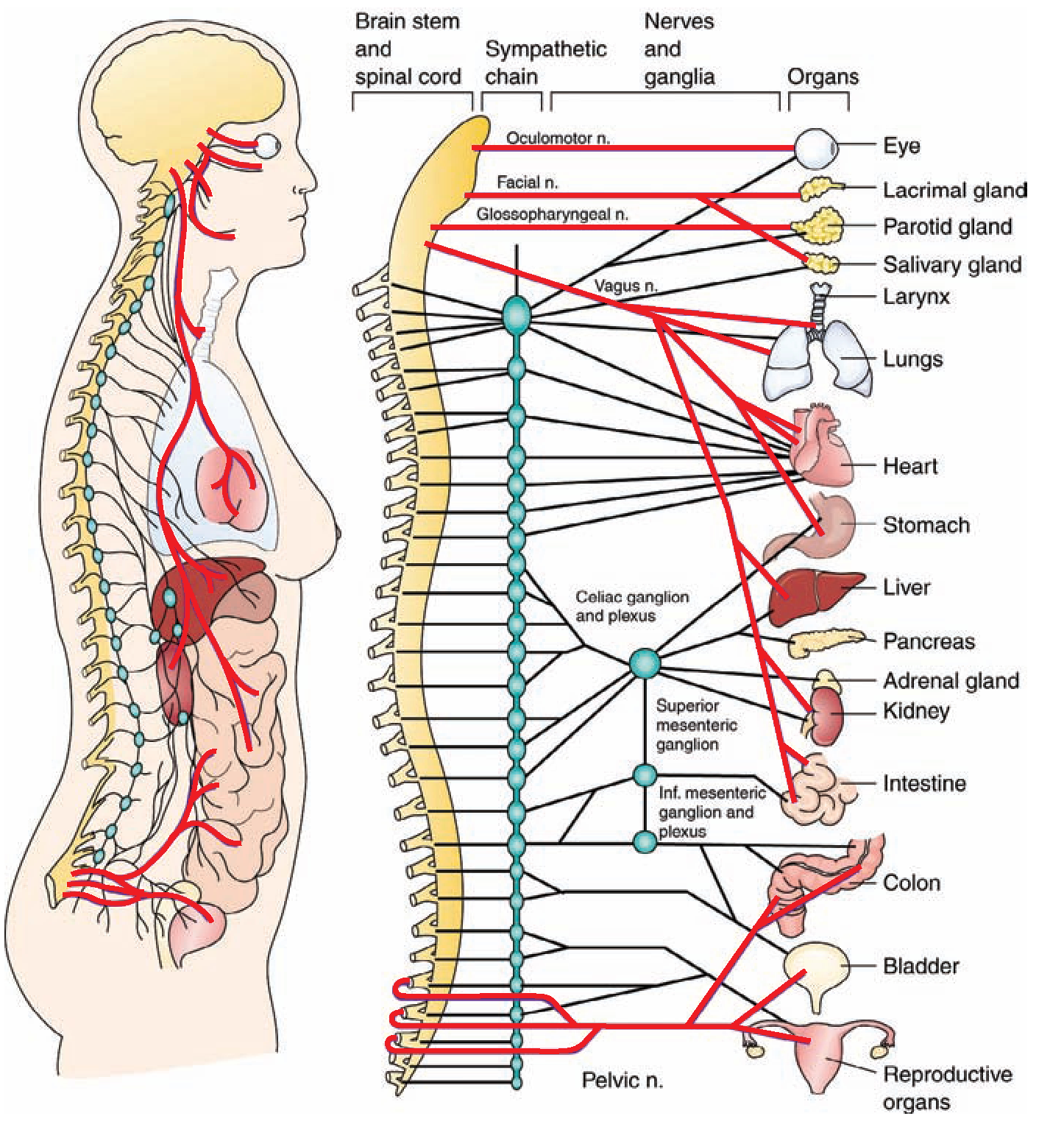 0084- Anatomy of the autonomic nervous system. The red lines ...