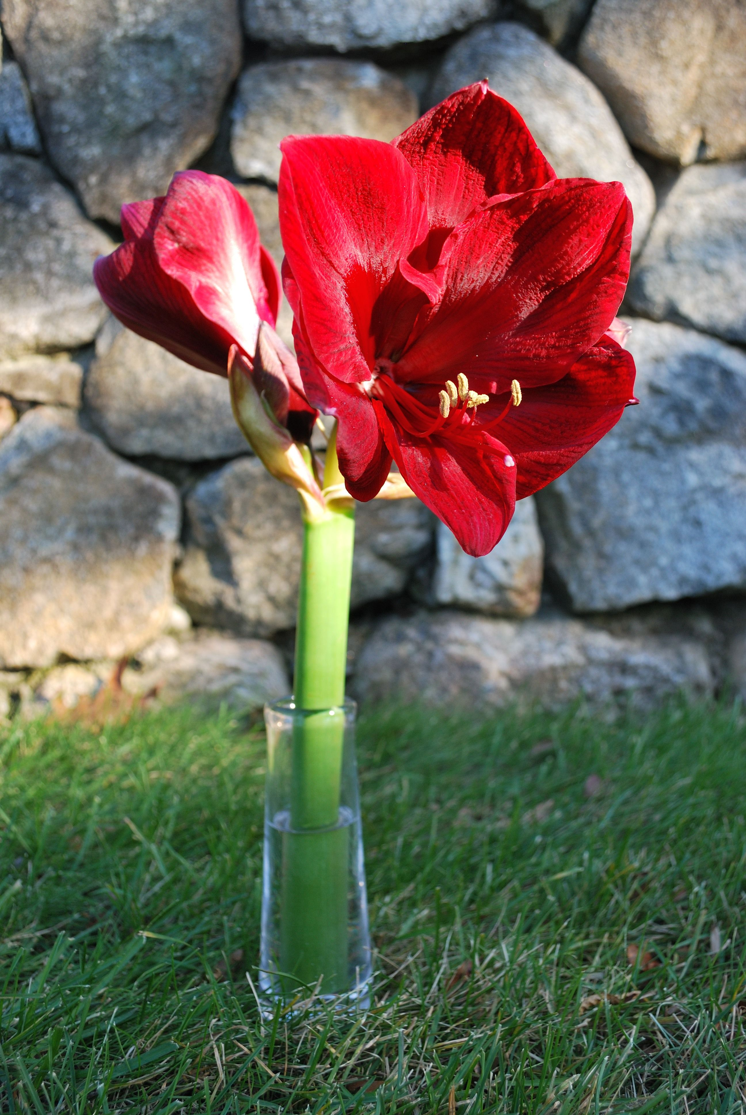 Royal Velvet Amaryllis in Simon Pearce bud vase