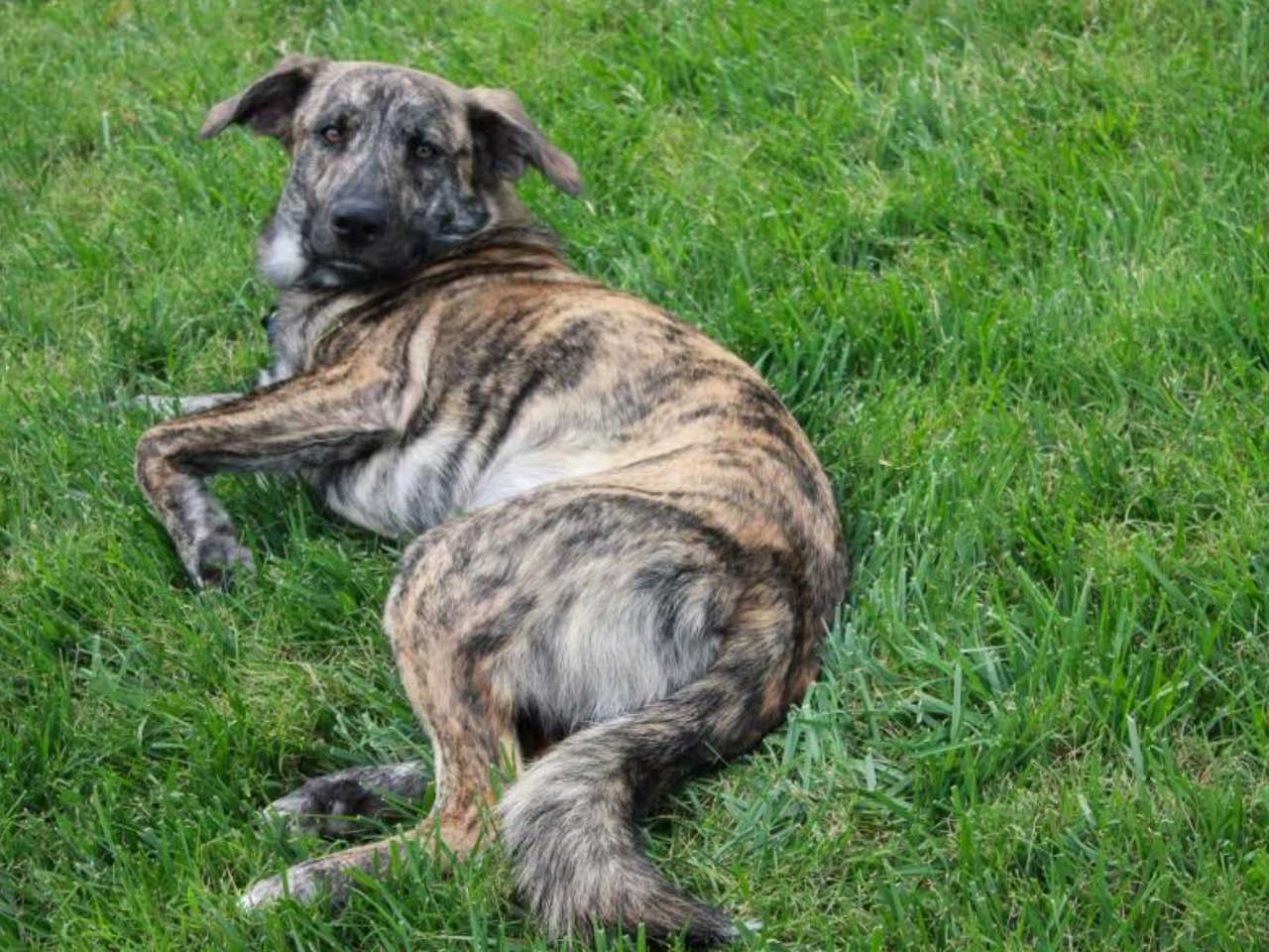 Top 5 Brindle Dog Breeds Preview And Pictures Plott Hound Brindle Dog Breeds Dogs