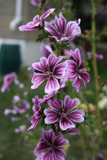 Wilde Malve Blumen Fur Garten Lila Garten Und Bluhende Pflanzen