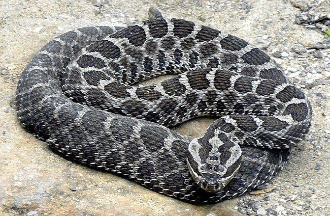 Massasauga rattlesnake - Living with Missouri's slithering population