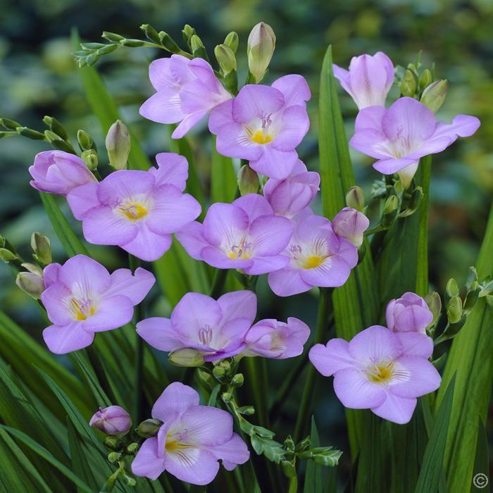 Freesia single blue - 20 flower bulbs buy online order now
