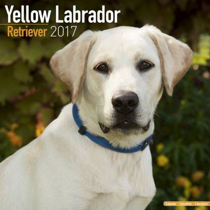 Avonside Hunde Kalender 2017 Avonside Hunde Wandkalender 2017 Labrador Retriever Yellow Hunde Schokolade Labrador Retriever Labrador Retriever