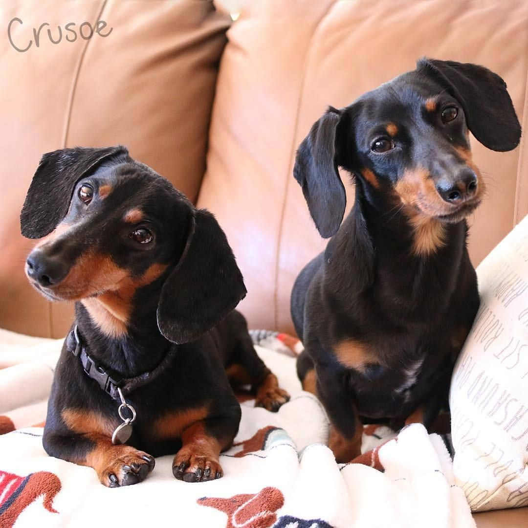 Pin By Bob S Rightway On Cursoe And Oakley Pictures Funny Dachshund Crusoe The Celebrity Dachshund Dog Tumblr