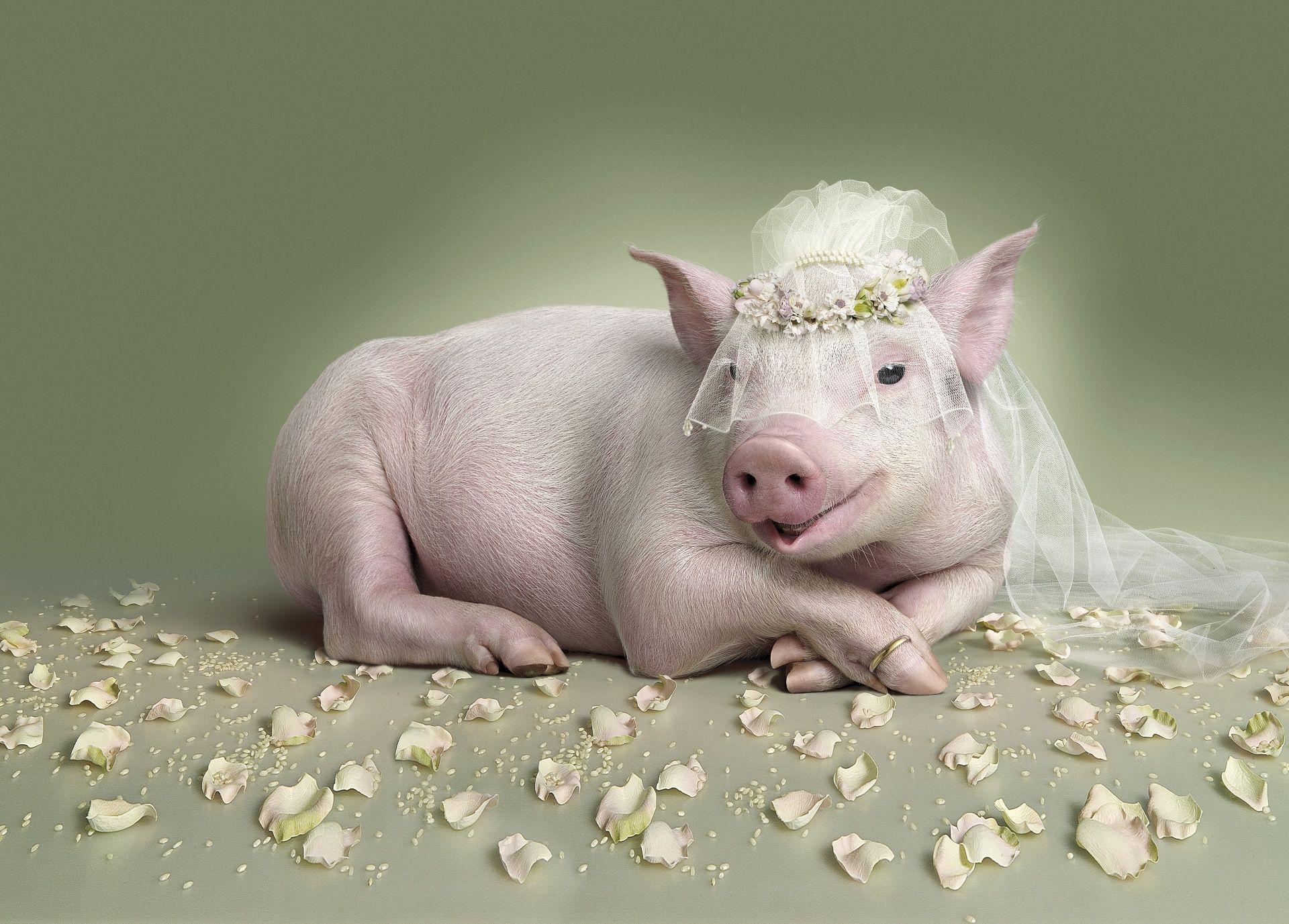 картинки с изображением свиньи на рабочий стол обработали