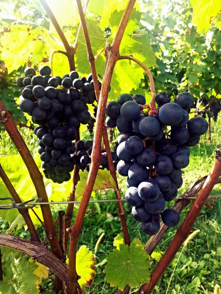 Refosco dal peduncolo rosso #ca'bolani @cvzonin @Autochtona @winewankers @WineAtlas @lauraloveswines @VinoPigro pic.twitter.com/k1XXzjNlh9