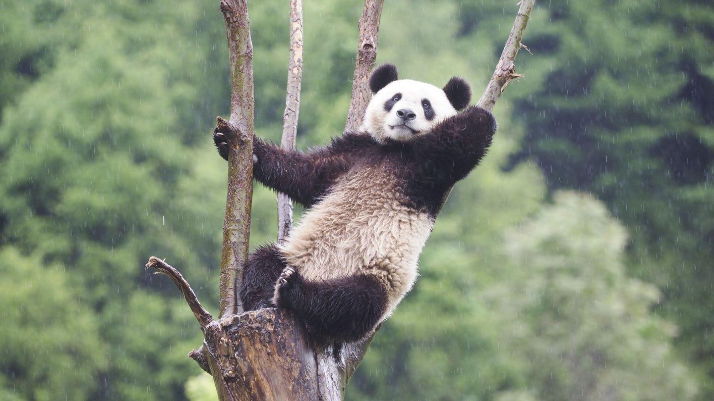 Kampen for pandaen tilbake for full styrke - Aftenposten