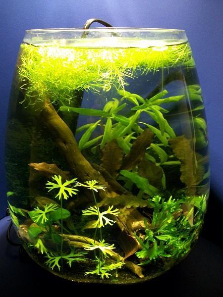 3 gallon shrimp bowl via the planted tank aquascapes for Fish tank bowl