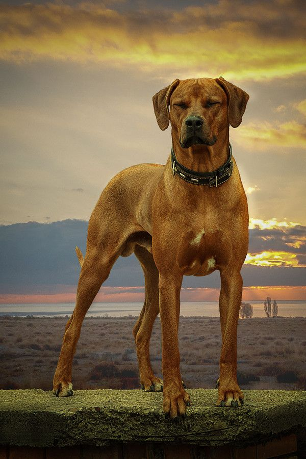 Surrender Is A Big Lazy Loping Hound With A Tail That Curves Like