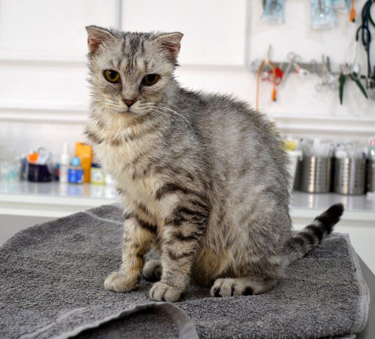 Scottish Fold For Adoption Cats Dubai Adopt My Pets Scottish Fold Cat Adoption Pets Cats