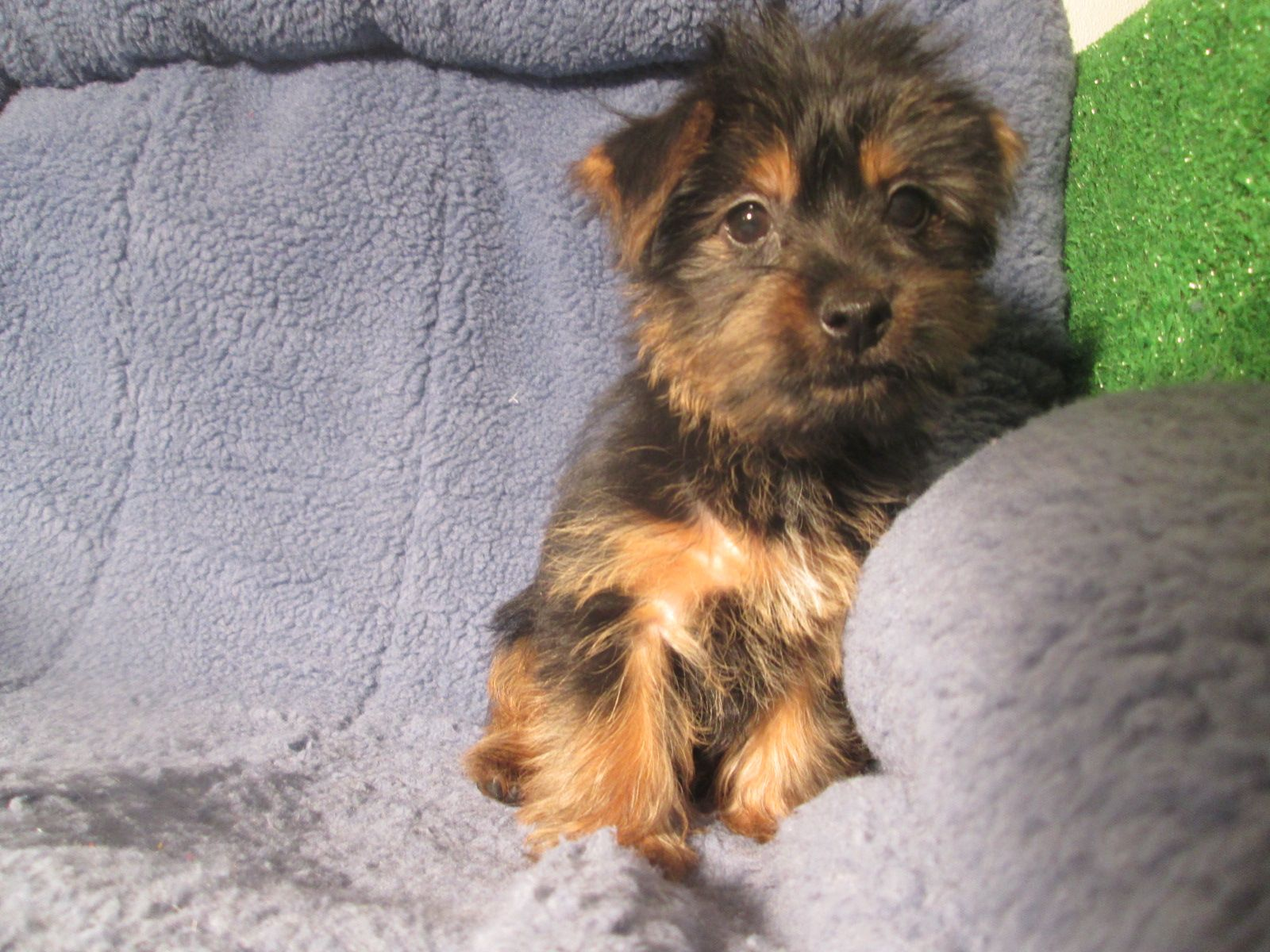 Sweet Silky Terrier Puppies Available 8 12 Weeks Of Age