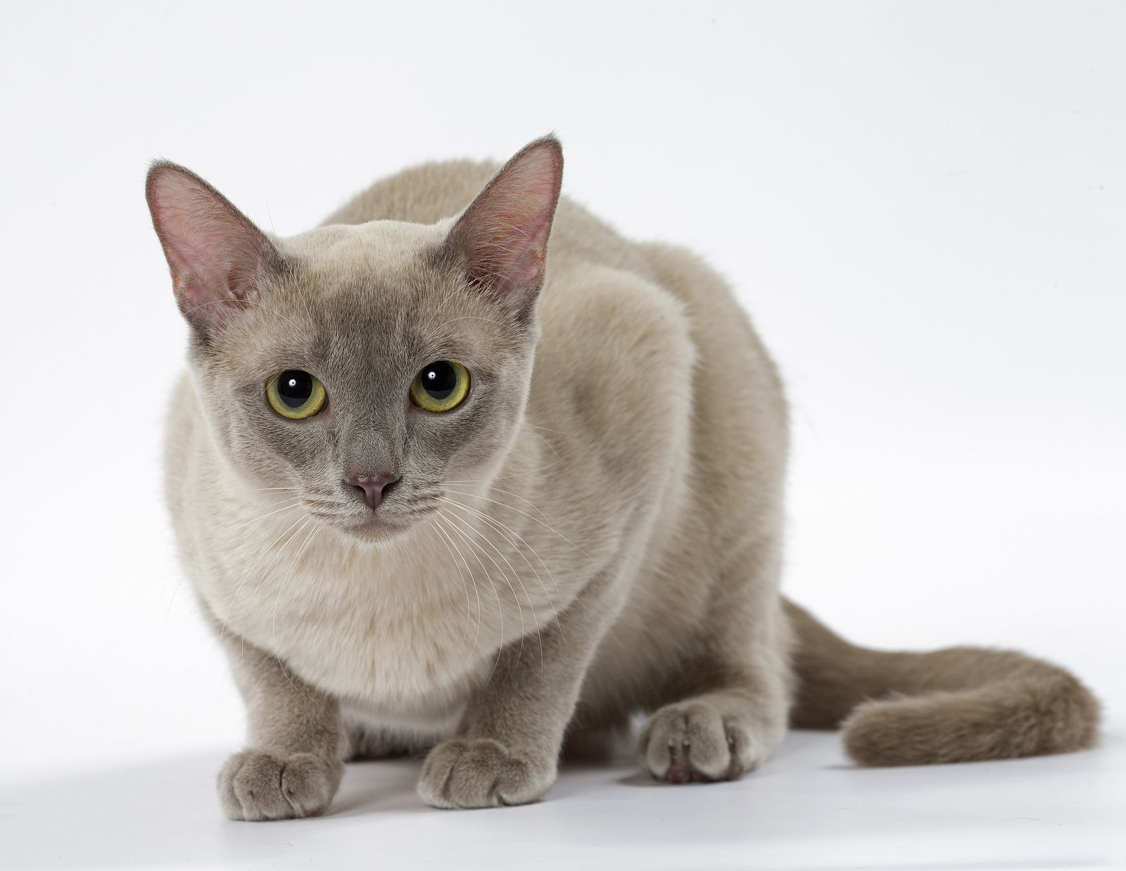 Pin By Heidi Rucki On Tonkinese Cat Cat Breeder Burmese Cat Burmese Cat Breeders