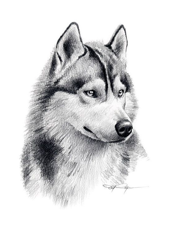 SIBERIAN HUSKY Art Print Pencil Drawing Signed by Artist DJ Rogers ...