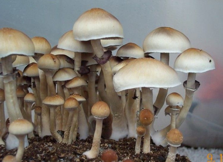 how to grow morel mushrooms indoors
