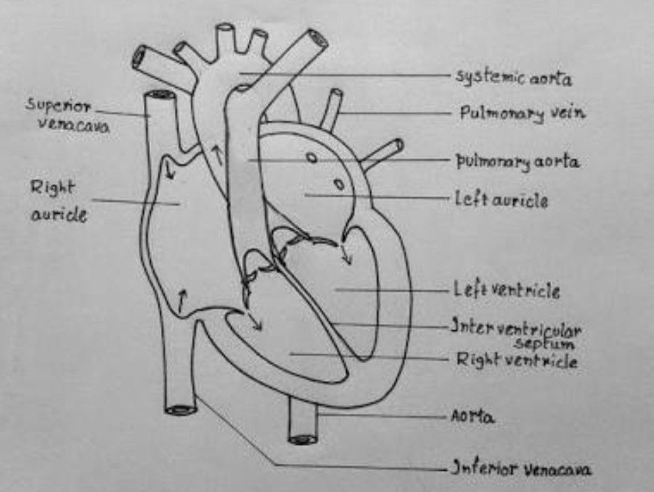 Draw A Heart Diagram Brainly In Easy Heart Drawings Heart Diagram Medical Drawings
