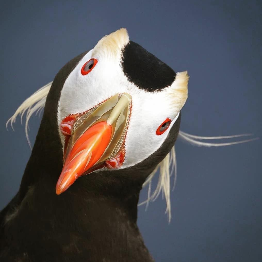 geographicwild photo by jc wings a tufted puffin amazing