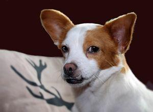 Chihuahua-Mix Odile - klein <3 aber oho!