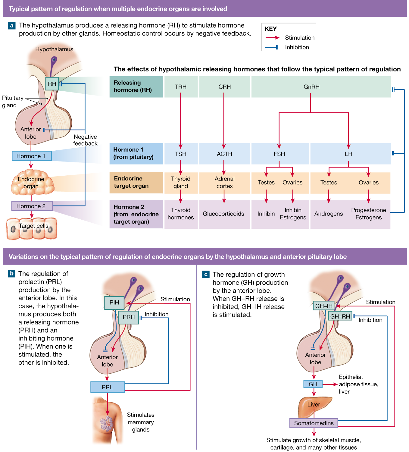 Pin On Endocrine System