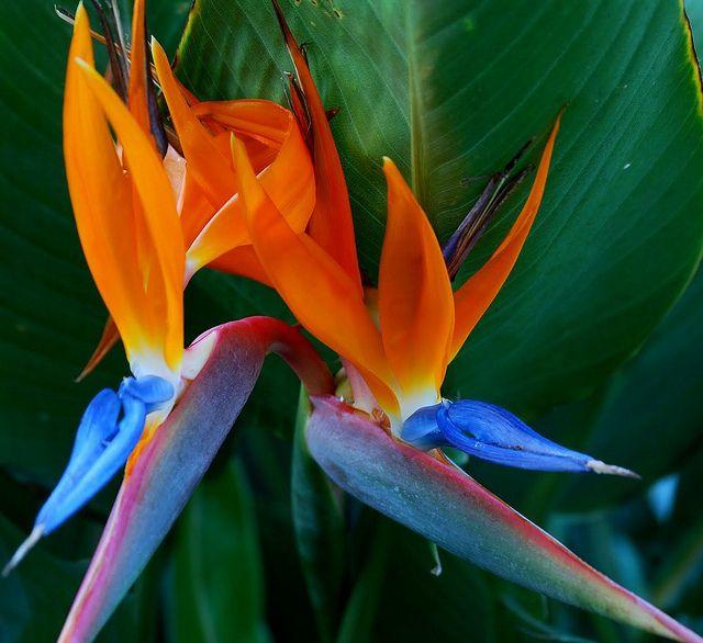 The Lovely Bird Of Paradise Flower Hawaii Birds Of Paradise Flower Birds Of Paradise Plant Birds Of Paradise