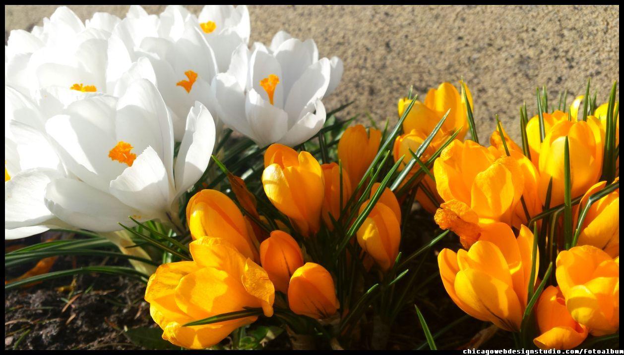 Wiosenne Krokusy W Ogrodzie Kwiaty Wczesna Wiosna Kwiaty Flowers Polish Flowers Polskie Kwiaty Kwi Flower Aesthetic Beautiful Flowers Wallpapers Flowers