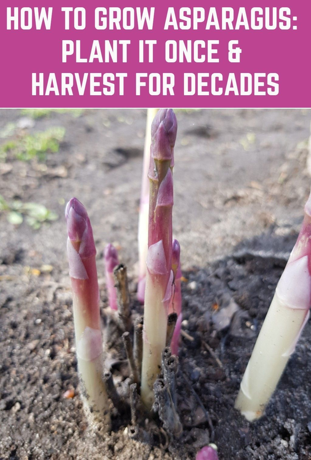 Plant Asparagus Once And It Will Come Back Every Year Like Clockwork For 30 Years Or More As In 2020 Growing Asparagus Planting Vegetables Backyard Vegetable Gardens
