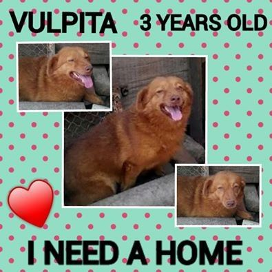 Vulpita The 3 Year Old Sweetheart Halifax West Yorkshire