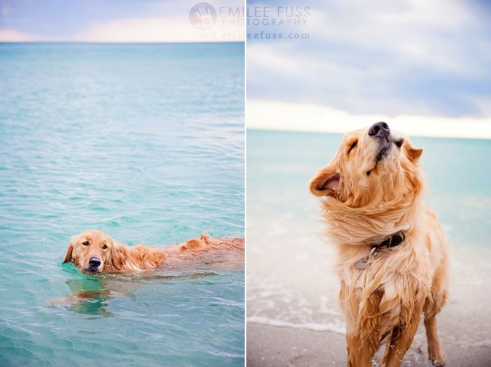 Bella The Golden Retriever Boca Grande Southwest Florida Dog