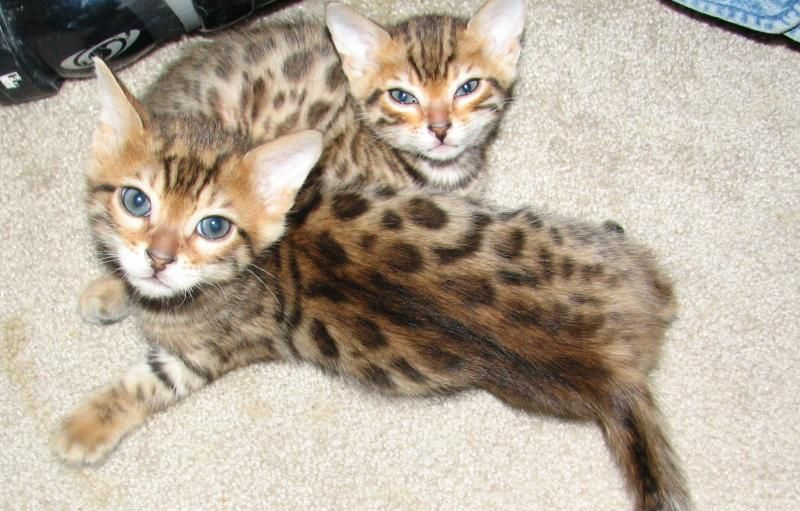 Bengal Kittens Cats And Kittens Cat Earrings Bengal Kitten
