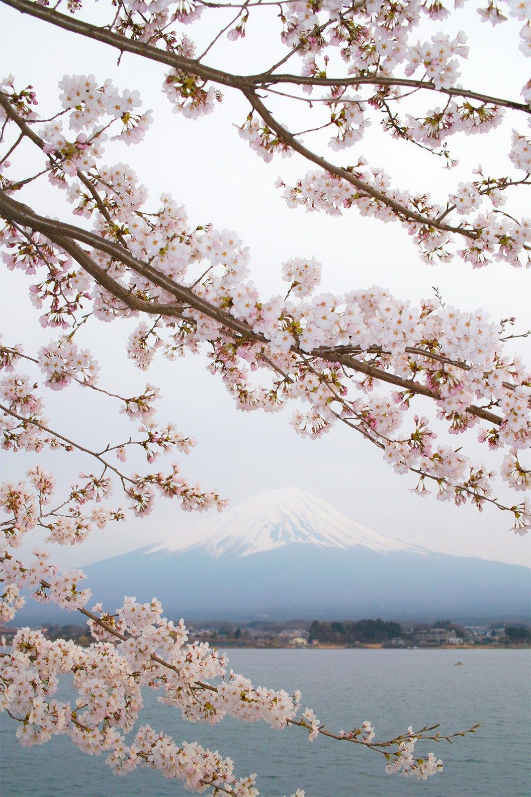 Spring In Japan 2019 When And Where To See The Cherry Blossoms Spring Scenery Cherry Blossom Japan Cherry Blossom