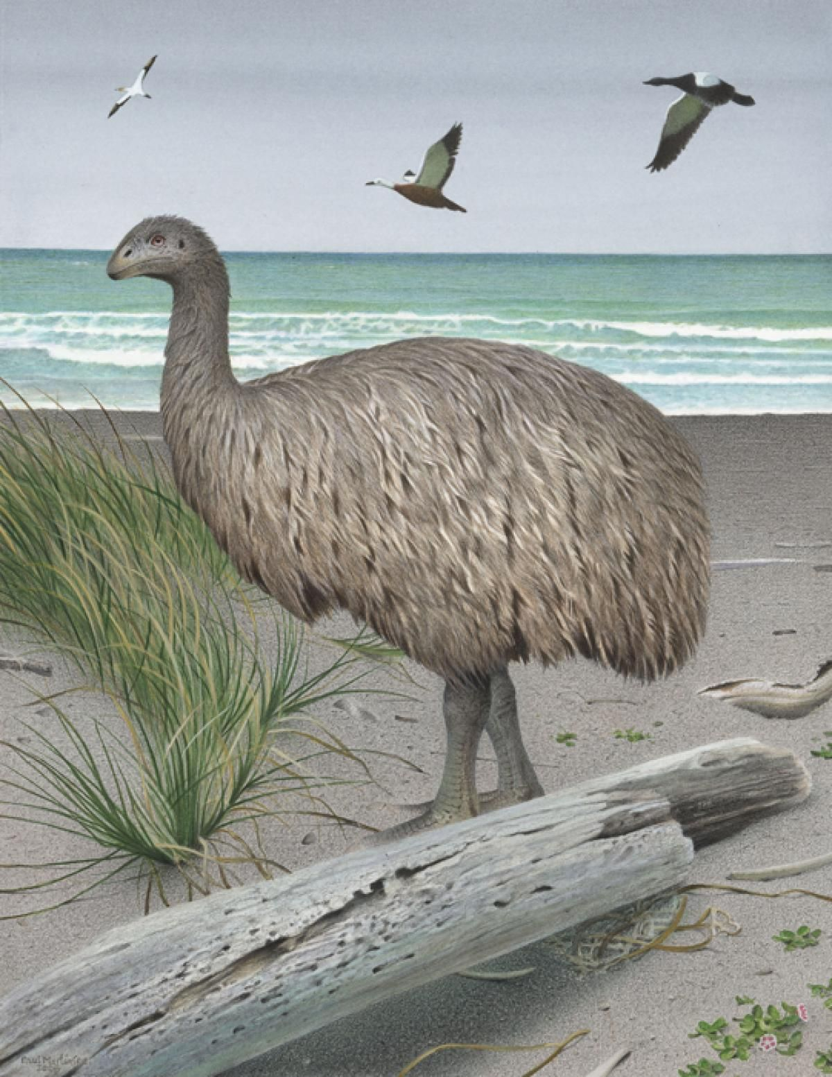 Euryapteryx Curtus Or The Coastal Moa By Paul Martinson
