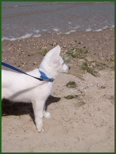 berger blanc suisse dog photo | ... / White Swiss Shepherd Dog /Berger Blanc Suisse/Weisse Schäferhunde