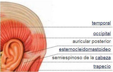 Sistema muscular | Músculos de la cabeza: | anatomia | Pinterest