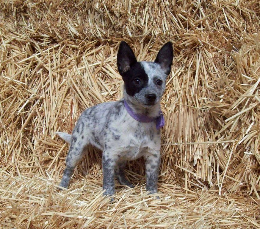 Toy Blue Heeler Goldenacresdogs
