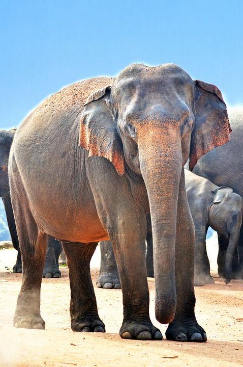 Free Image On Pixabay Indian Elephant Elephant Jumbo India