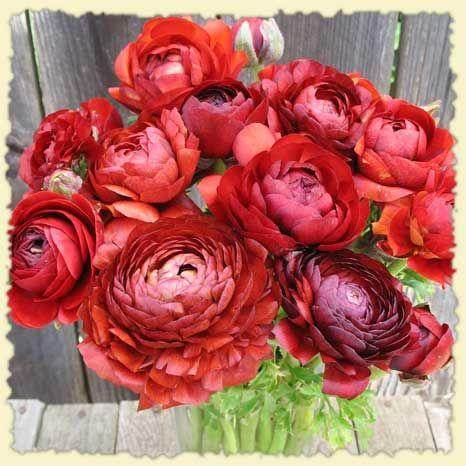 red ranunculus my little garden Ranunculus, Flowers, Bouquet