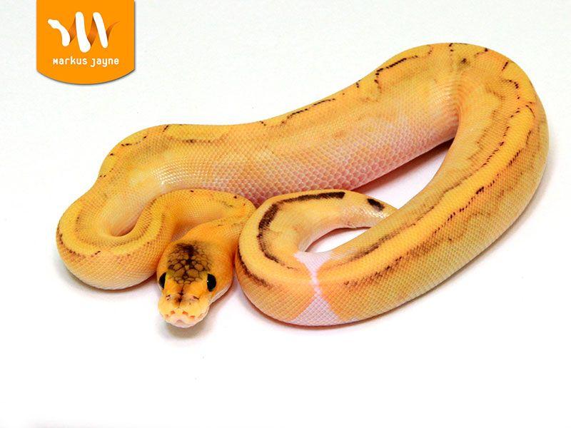Champagne Fire Orange Dream Pythons Pinterest Ball Python