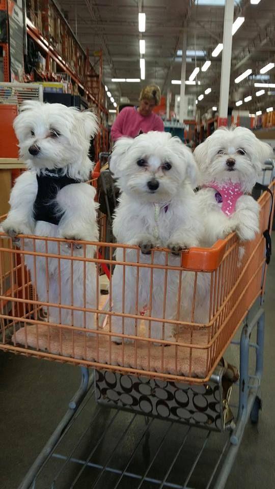 Heute Gibt S Neue Klamotten Maltese Dogs Maltese Puppy Cute Puppies