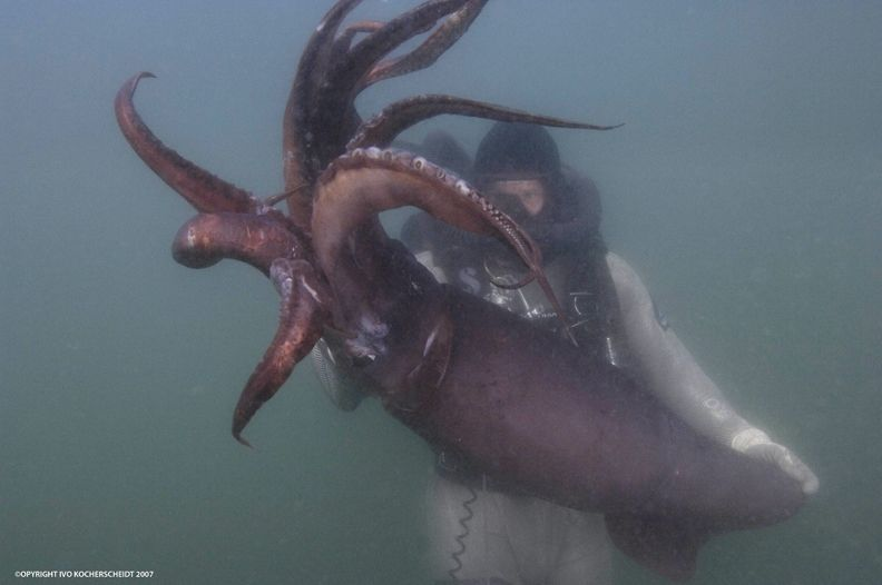 diving with the humbolt squid...this is serious shit