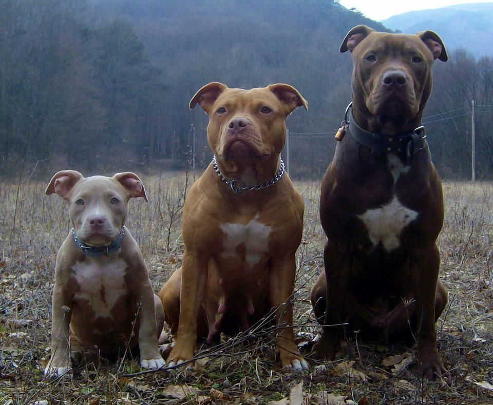 Love Comes In All Colors And Sizes Pitbull Terrier Cute