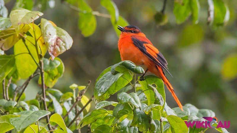Download Suara Burung Mantenan Untuk Masteran Dan Pikat Burung