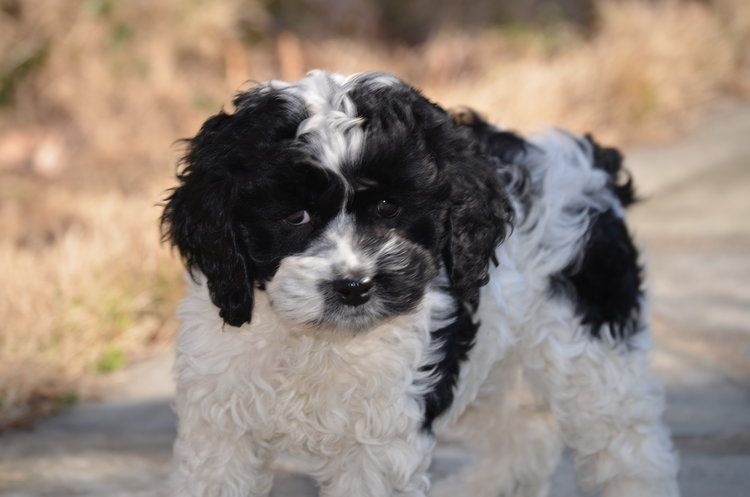 Black And White Parti Cockapoo Cockapoo Poodles Poodlelife