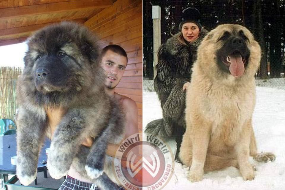 Russian Caucasian Mountain Dog | www.pixshark.com - Images ...