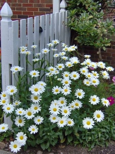 Pin By Nora Gholson On Whoopsie Daisey Shasta Daisies