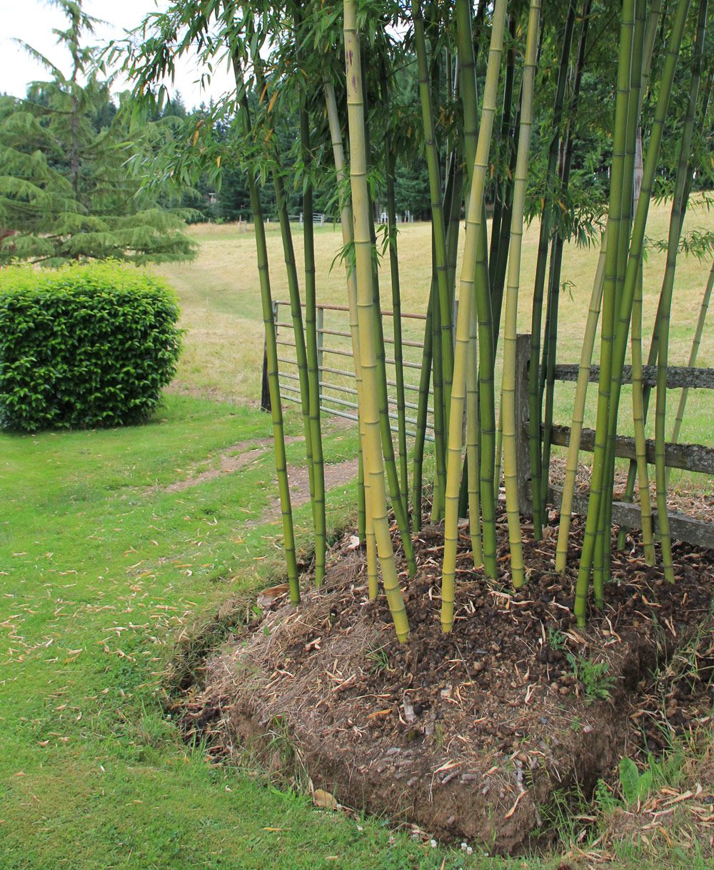 Controlling Bamboo Growing bamboo, Chinese bamboo plant