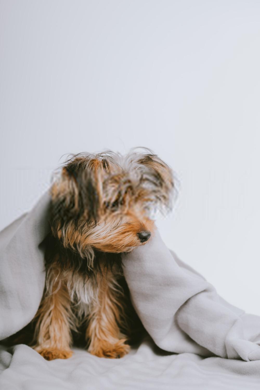Terrier Puppies Yorkshire Terrier Puppies In 2020 Yorkie Terrier Terrier Puppies Yorkshire Terrier Puppies