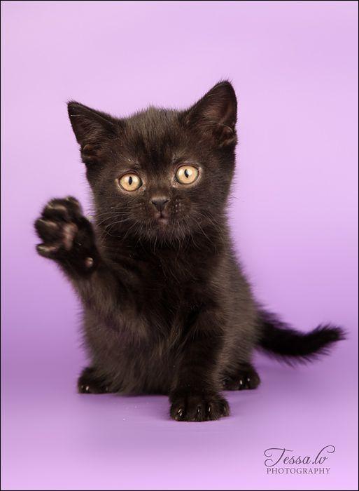 Black British Shorthair Kitten British Shorthair Kittens Baby